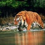 Sundarbans: Home of the Royal Bengal Tiger