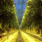 Discovering Iceland's Idyllic Friðheimar Greenhouse