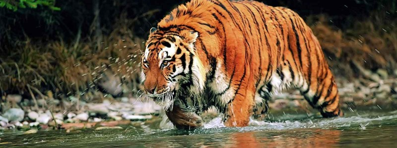 Sundarbans: Home of the Royal Bengal Tiger