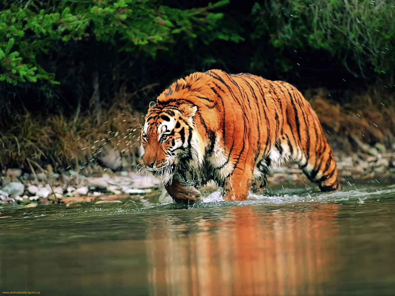 Sundarbans, home of the famous Royal Bengal Tiger is by far the largest Mangrove forest in the world.